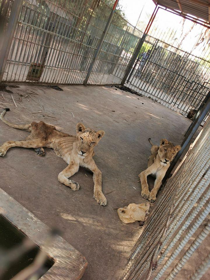 Leones africanos desnutridos
