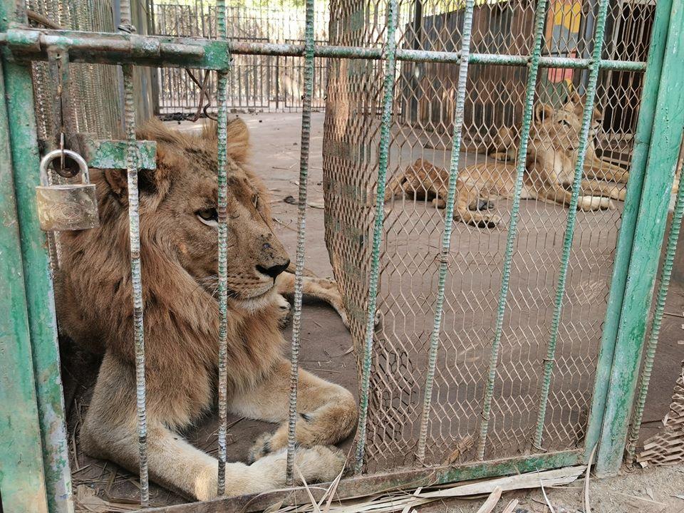 Leones africanos en jaulas