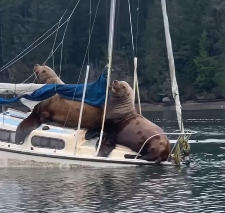 Leones marinos en bote