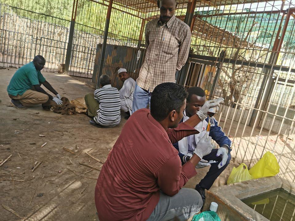 Médicos atendiendo león africano