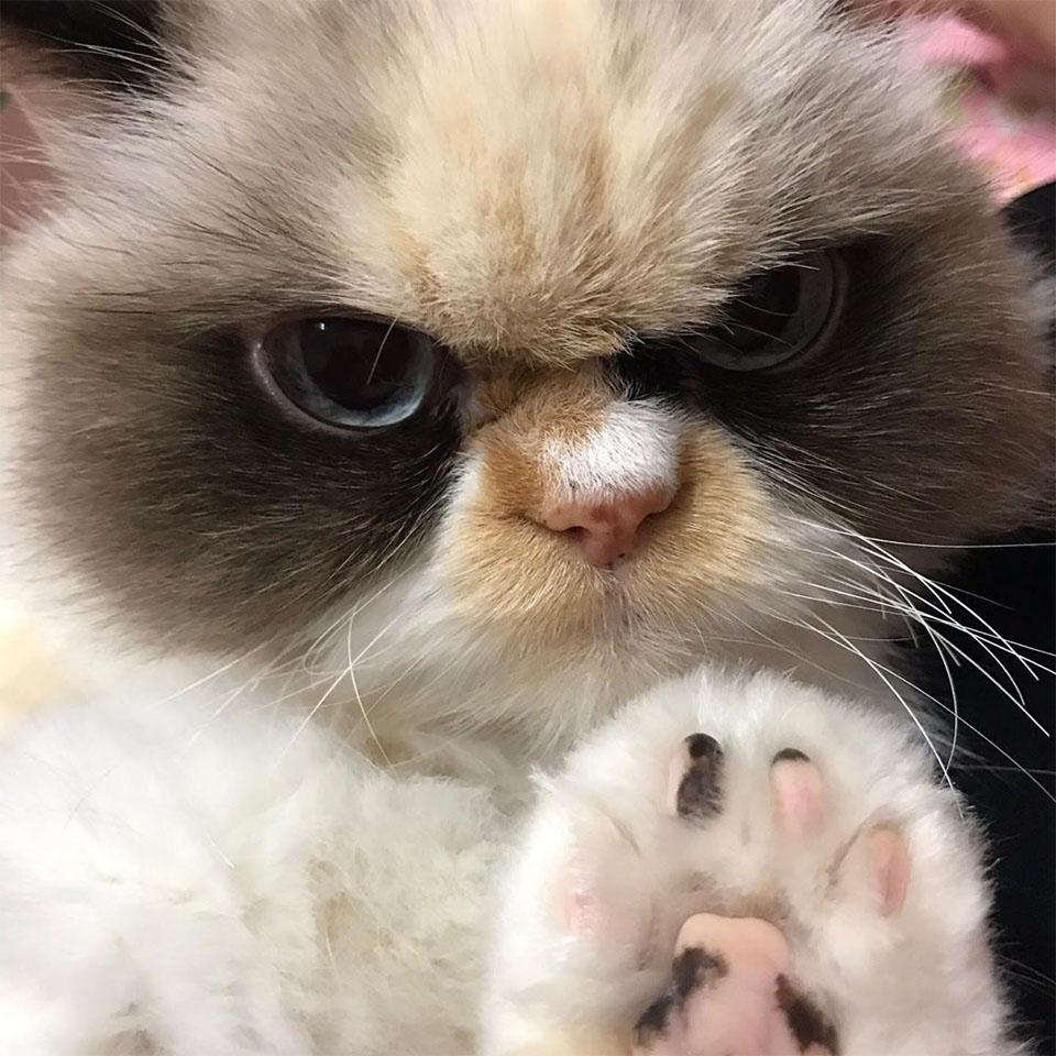 Meow gato gruñón
