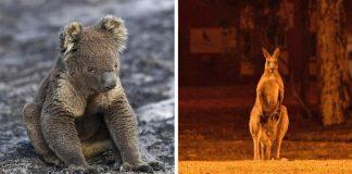 Mil millones de animales han fallecido en incendios forestales en Australia