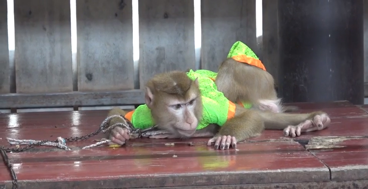 Monos encadenados
