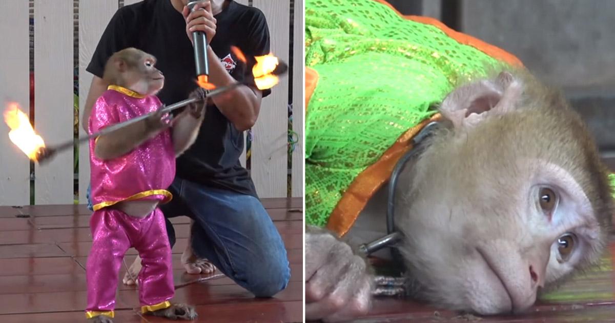 Monos encadenados y obligados a hacer trucos con fuego para los turistas