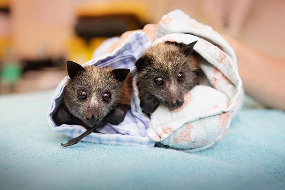 Murciélagos rescatados de los incendios en Australia