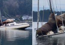 Par de leones marinos gigantes, piden prestado el bote de alguien