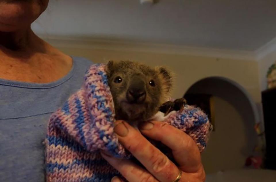 Pequeño koala fue rescatado de los incendios