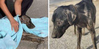 Perrito fue encontrado con una cuerda incrustada en su cuello