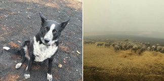 Perro héroe salva a rebaño de ovejas de los incendios forestales
