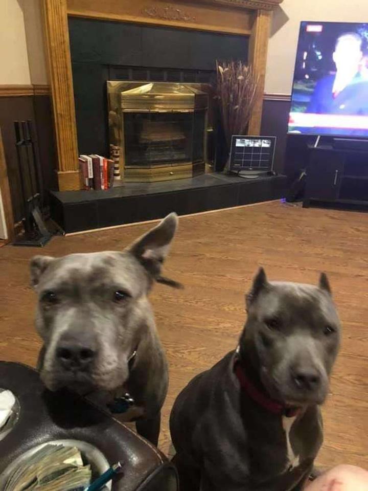 Pitbulls adoptados