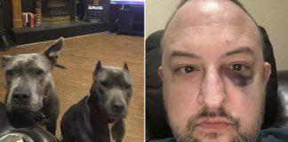 Pitbulls rescatadas salvan a su propietario durante intento de robo
