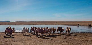 Sacrificarán miles de camellos en Australia