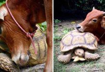 Vaca discapacitada y una tortuga gigante tienen una hermosa amistad