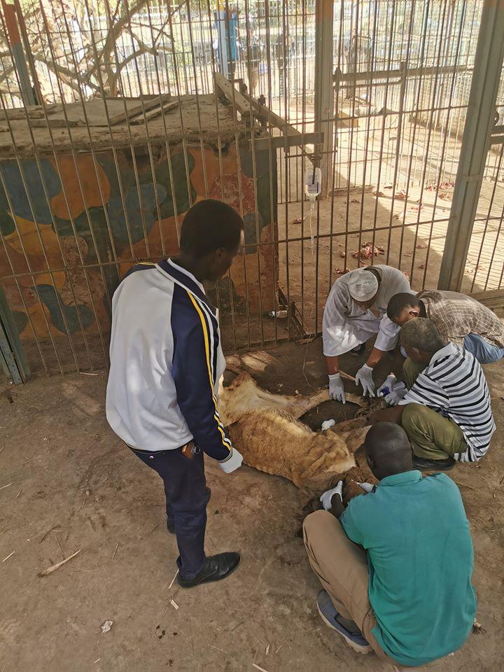 Voluntarios atendiendo leones africanos