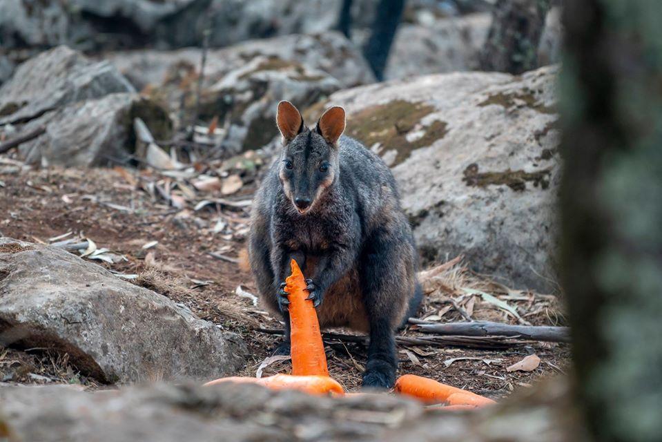 Wallabies recibiendo alimentos