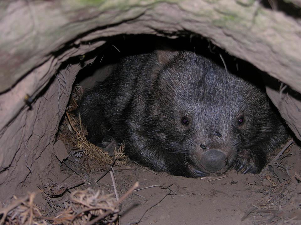 Wombat en su madriguera