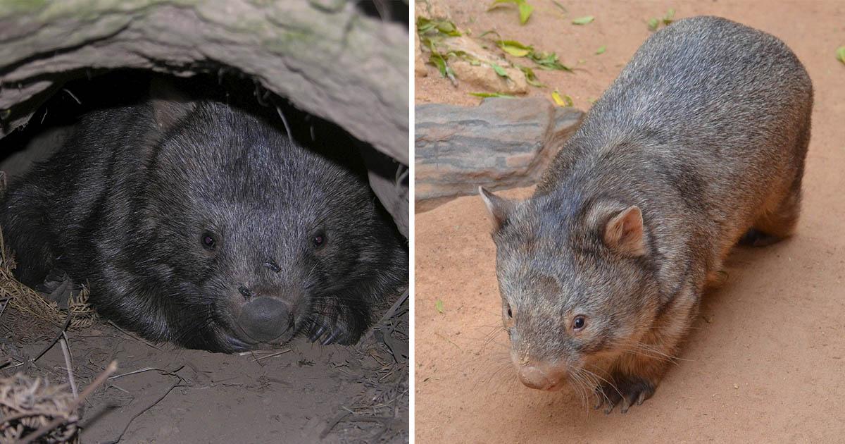 Wombats comparten sus madrigueras con otros animales