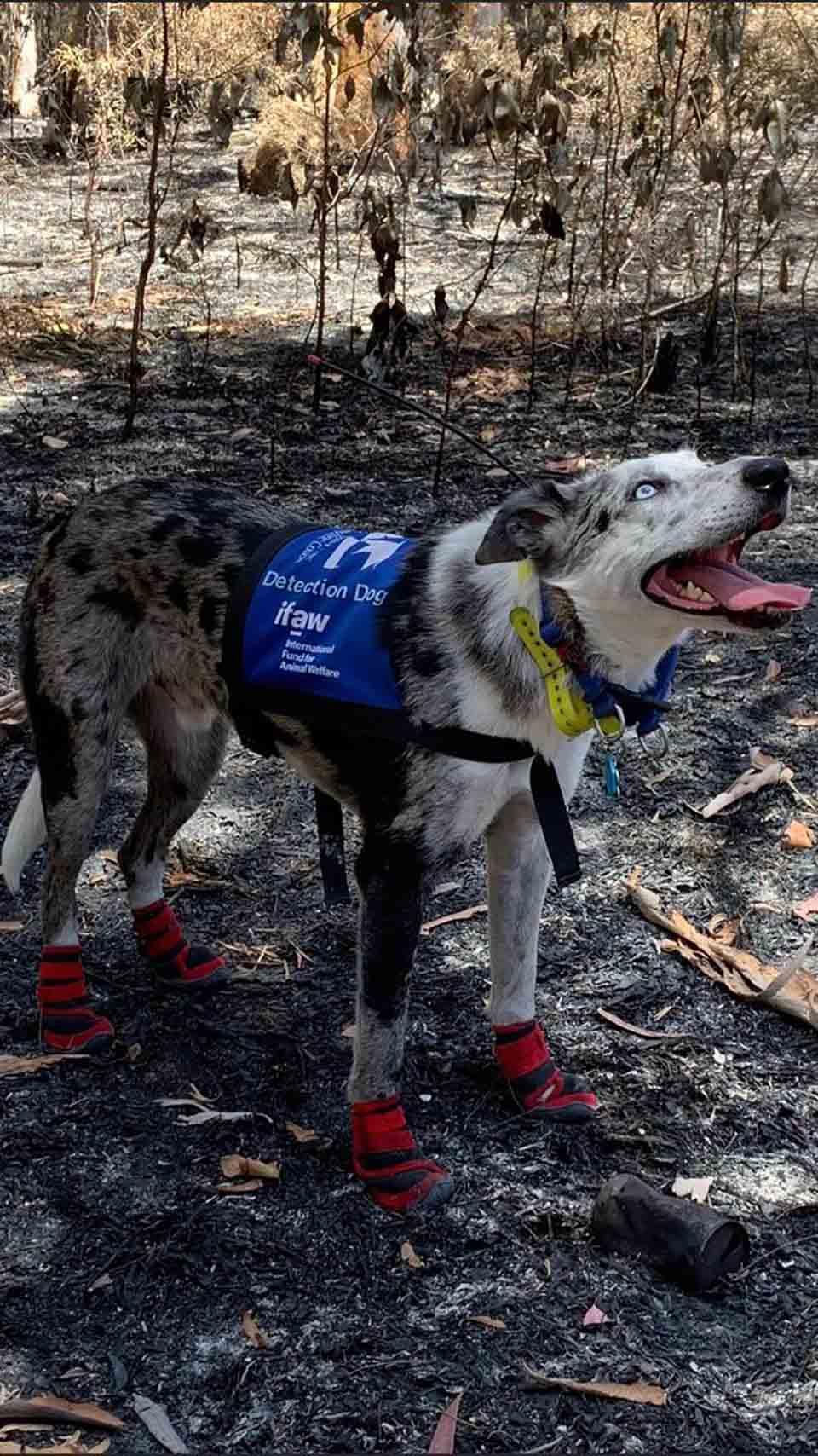 Perro ha salvado koalas de los incendios forestales