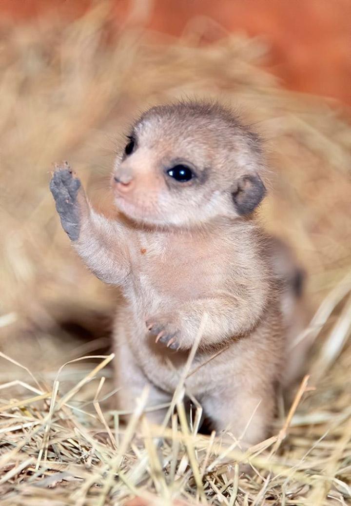 Cría de suricato