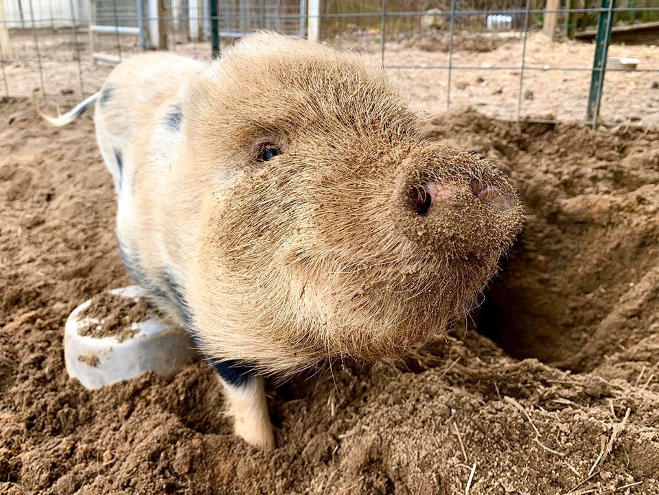 Cerdo jugando con arena en santuario
