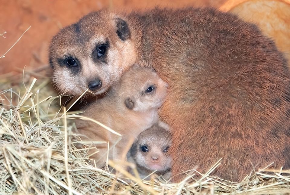 Crías de suricato
