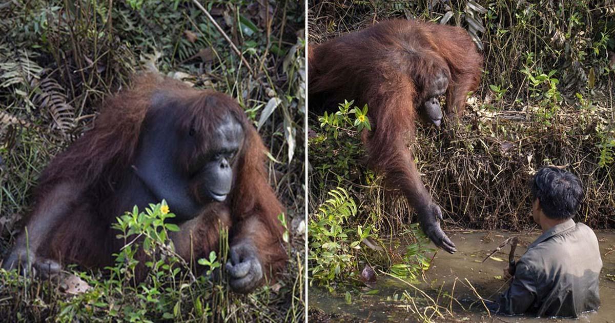 Fotógrafo captura a un orangután que quiso ayudar a un guarda forestal