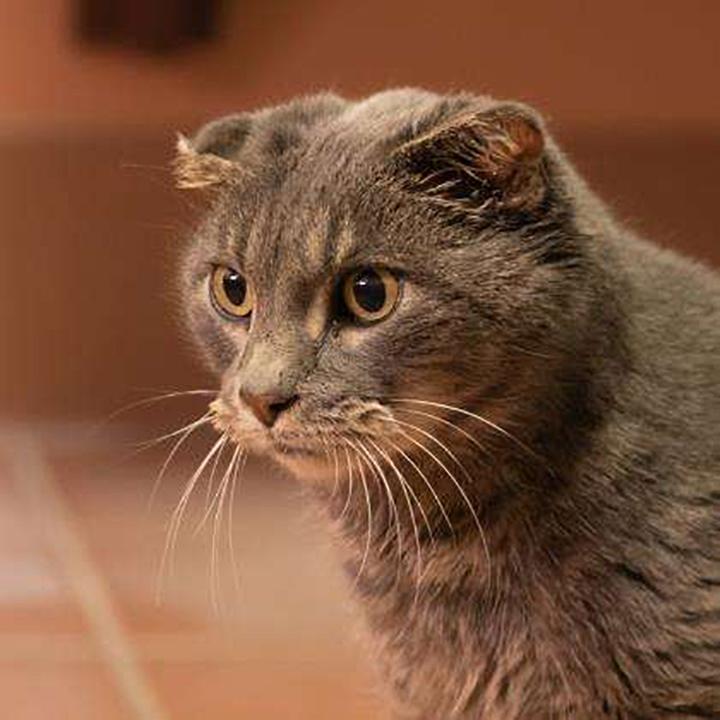 Gato perdió orejas