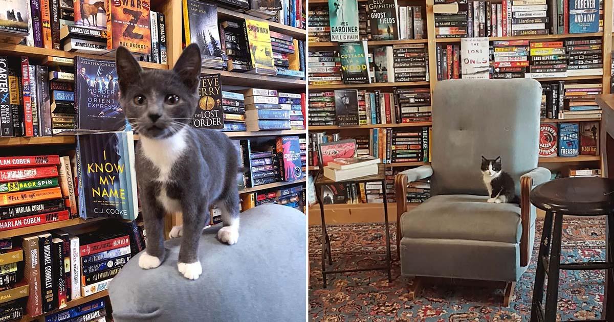 Gatitos deambulan libremente en esta librería y pueden ser adoptados