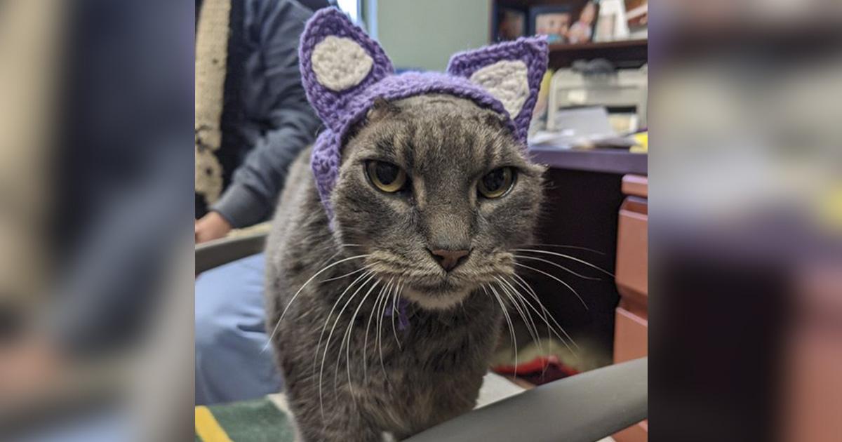 Gato que perdio las orejas obtiene un par que tejió un voluntario del refugio