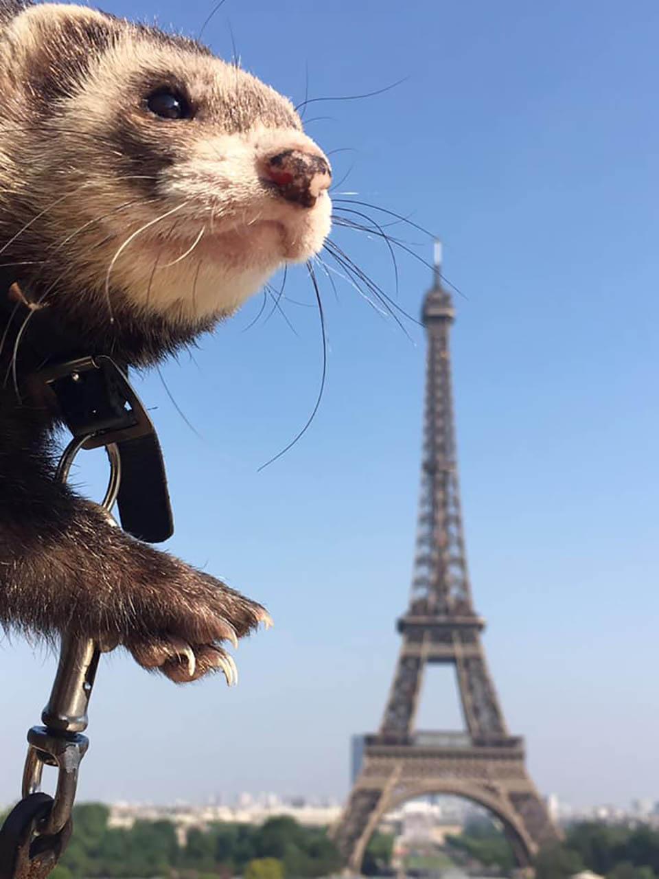 Hurón y la Torre Eiffel