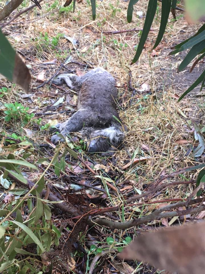 Koala encontrado muerto