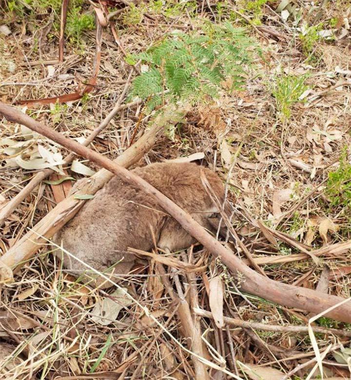 Koalas encontrados muertos en plantación