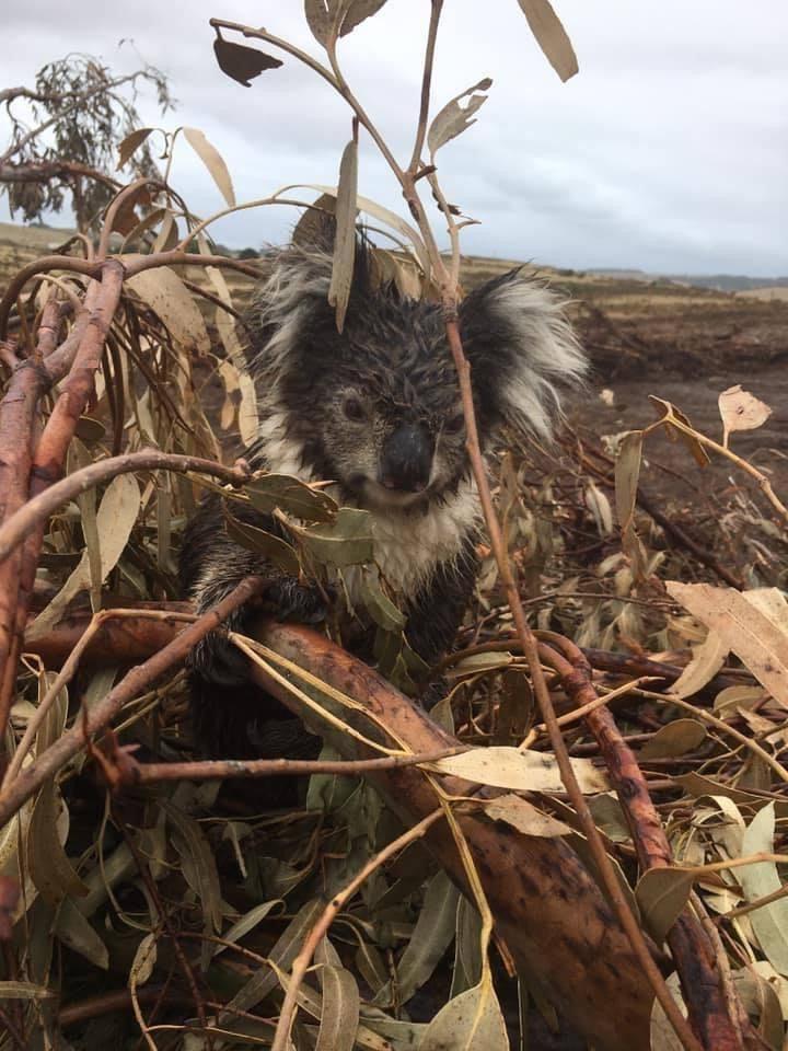 Koala rescatado en plantación