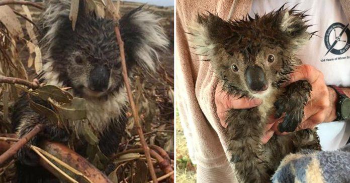Koalas muertos y heridos encontrados en plantación maderera