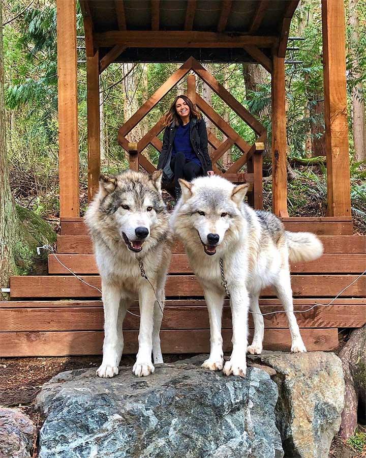 Lobos amigables en santuario