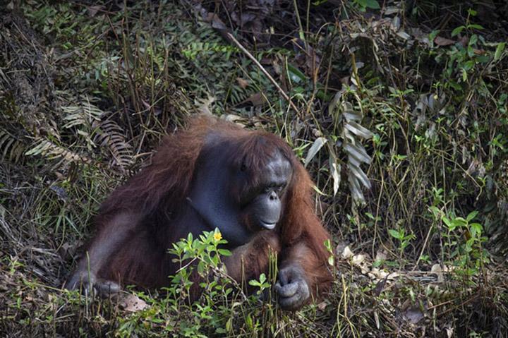 Orangután ayuda guarda forestal