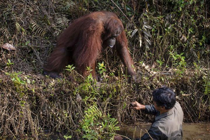 Orangután ayuda