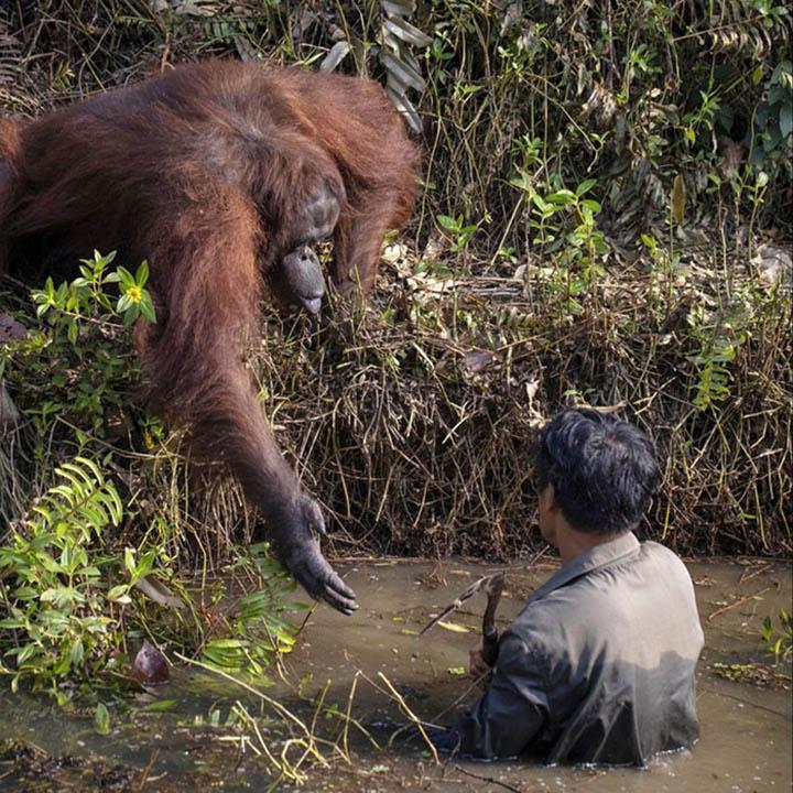 Orangután extiende la mano