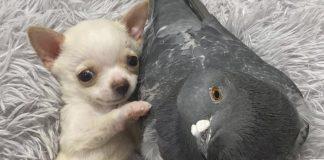 Paloma forma vínculo adorable con un cachorro que necesitaba un amigo
