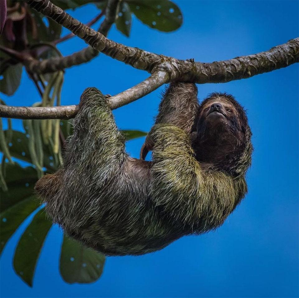 Perezosos selva costarricense