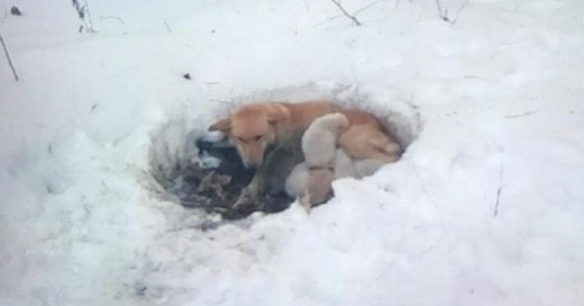 Perra es encontrada por una familia en medio de la nieve, protegiendo a sus bebés del helado invierno en las montañas al norte de Minnesota.