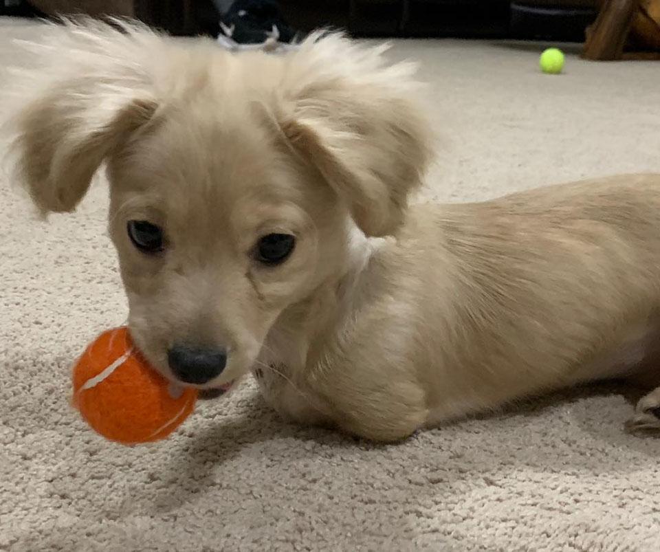 Perrita sin patas delanteras juega con pelota
