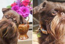 Perro apodado Chewbacca tiene una barba de sueños completamente desarrollada