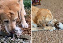 Perro cuida a una gatita callejera que fue encontrada sola en la granja