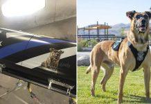 Perro policía asesinado será enterrado en un ataúd especial con su retrato