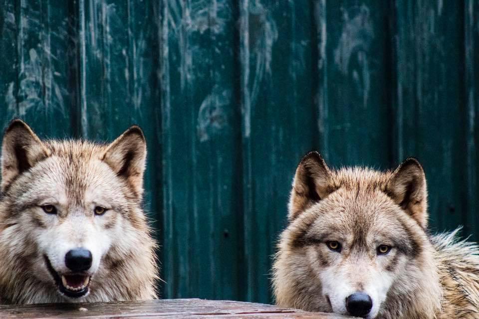 Santuario con lobos