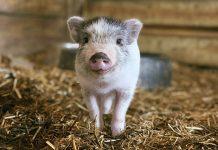 Santuario de animales está buscando voluntarios para abrazar a cerditos
