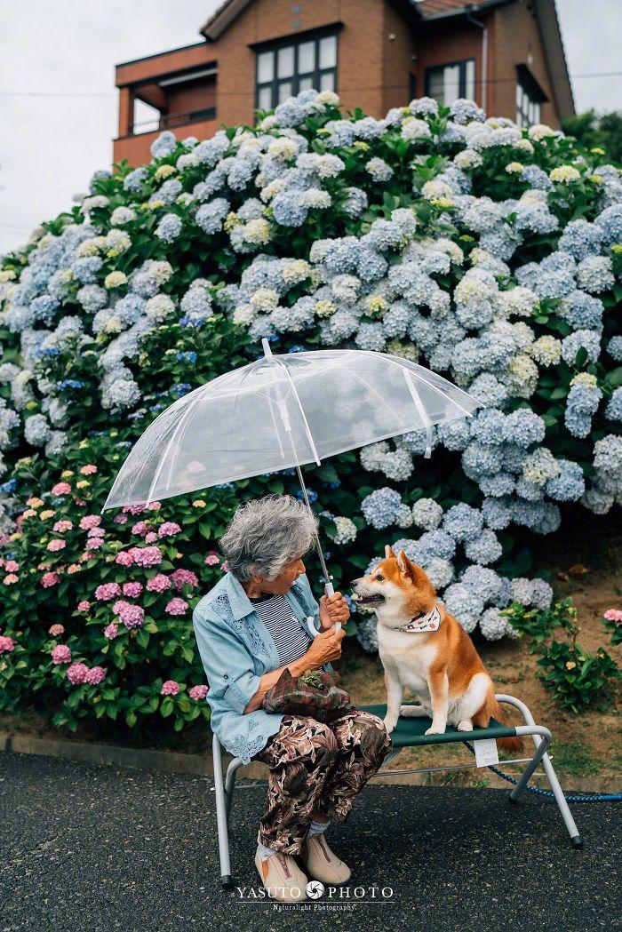 abuela y un shiba inu entre hortensias