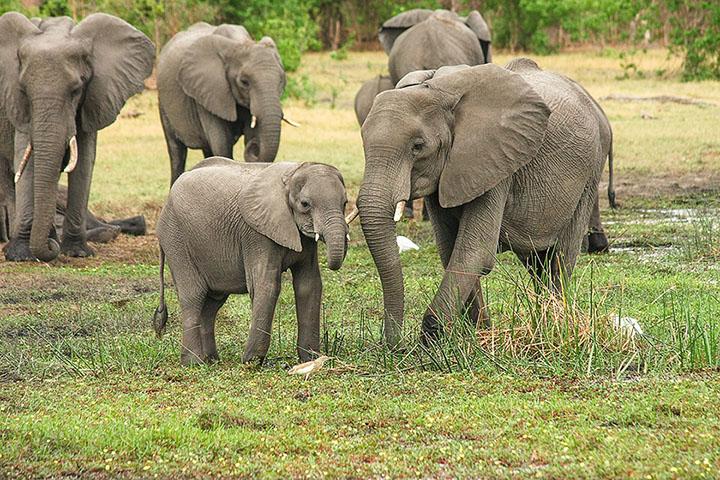 Subastan permisos para caza de elefantes