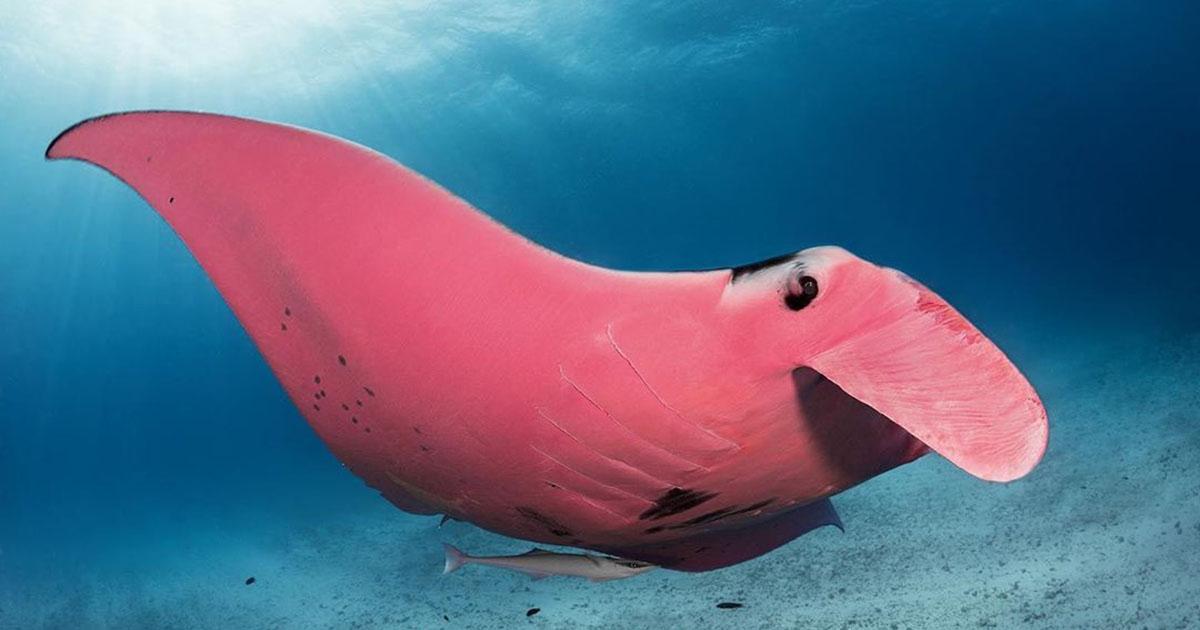 mantarraya rosa nadando